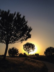 Sunset behind pine tress
