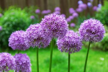 lila Alliumblüten