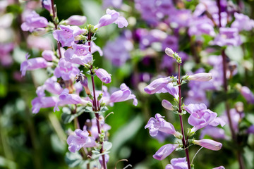 Pikes Peak Purple (Penstemon mexicali)
