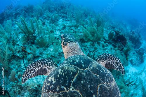 Deurstickers Schildpad Hawksbill Turtle 5