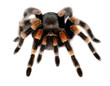red knee tarantula - 66117432