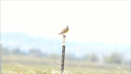 Western Meadowlark singing while perched on a post