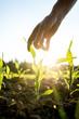 Leinwanddruck Bild - Reaching for young maize plant