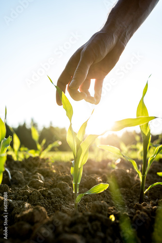 Staande foto Cultuur Reaching for young maize plant