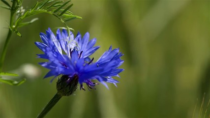 Blue cornflower on a background of grass