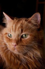 portrait of beautiful orange cat