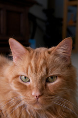 portrait of orange cat looking at viewer