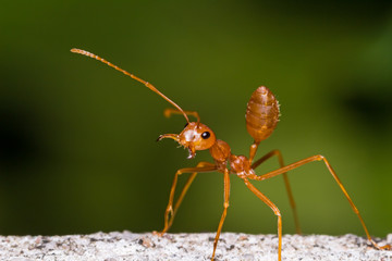 Red weaver ant