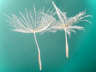 Dandelion seed :) © doris oberfrank-list