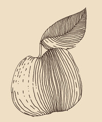 Apple in engraving style,  hand drawn, sketch