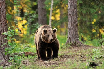 European brown bear walking in forest