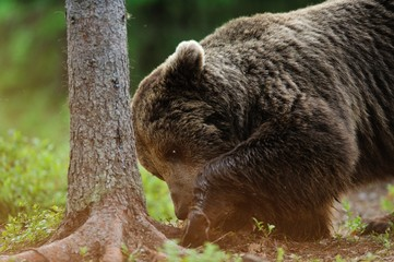 European brown bear closeup
