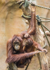 Mother sumatran orangutan (Pongo abelii) with her baby
