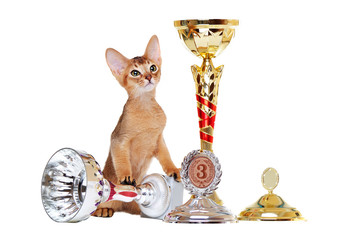 abyssinian kitten  with trophies and awards