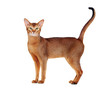 abyssinian cat tail up side view full length  portrait