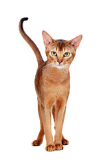 abyssinian cat front view full length  portrait