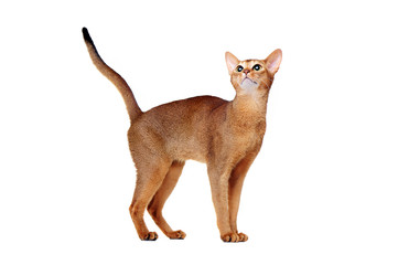 abyssinian cat looking up side view full length  portrait