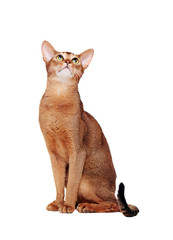 abyssinian cat sitting looking up front view portrait