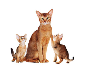 abyssinian cat with two kittens