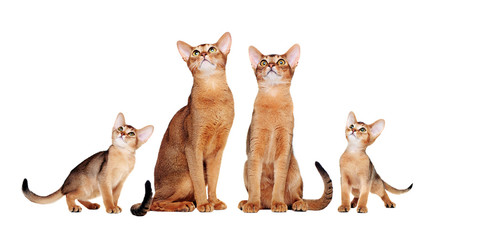Abyssinian cats family looking up