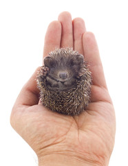 Hedgehog baby on palm isolated on white background
