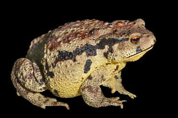 Toad (Bufo gargarizans) 30