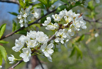 Blooming plum 12