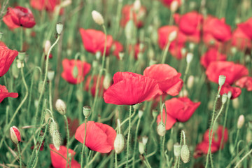 beautiful red poppies on the summer field - colorized photo