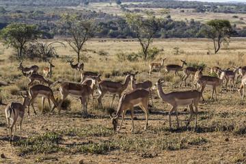 african antelope