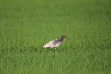 Crested Ibis (Nipponia Nippon) in Japan