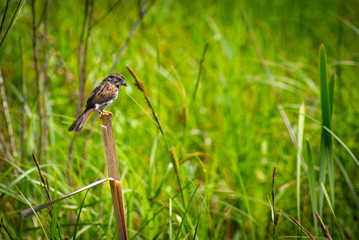 Small Sparrow Perched on Reed