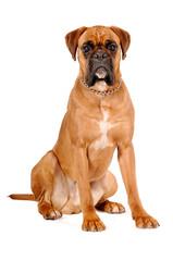 Boxer braun sitzend