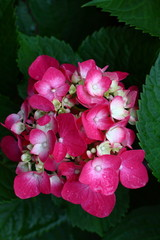 Red Hydrangea with  leaves