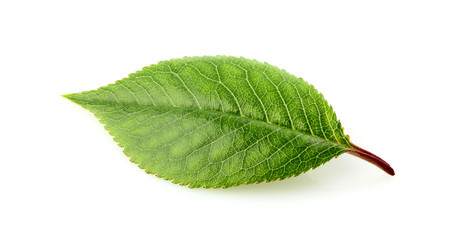 Cherry leaf isolated.