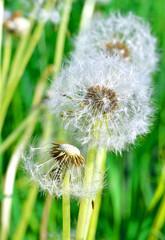 Dandelion seeds in the morning sunlight against fresh green back