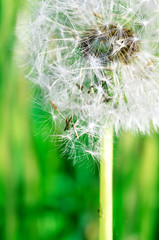 Dandelion seeds in the morning sunlight blowing away against fre