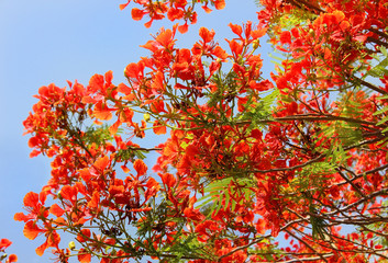 tree red acacia