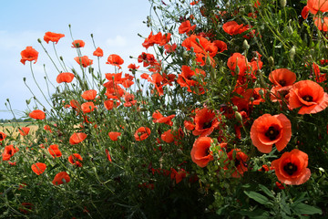 Klatschmohn als Heilpflanze