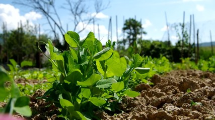 Green peas growing out of soil