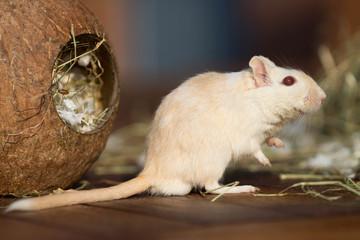 Gerbil mit Kokosnuss