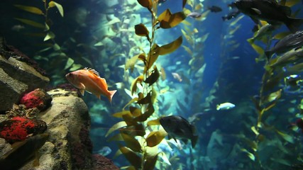 Fish drift through kelp in Pacific Kelp Forest