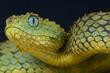 Tree viper / Atheris squamigera