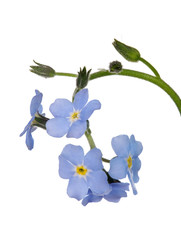 five blue forget-me-not flowers isolated on white