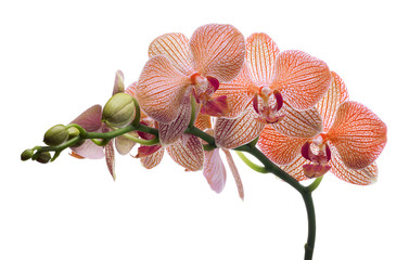 isolated orchid flowers in orange strips