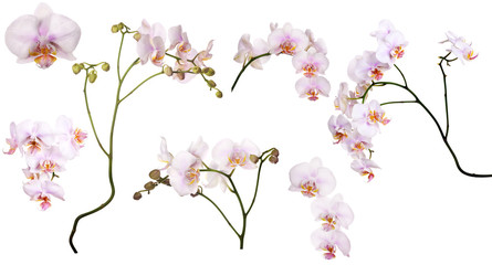set of light pink orchids in spots