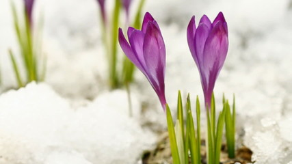 Two spring crocuses on the snow