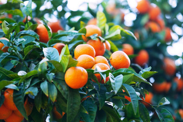 mandarins on branch