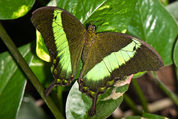 Black with green butterfly