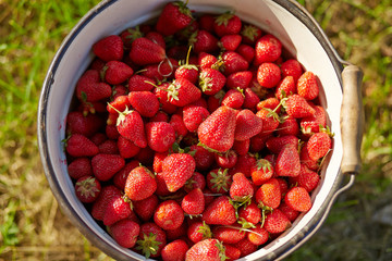 A bucket full of fresh strawberries