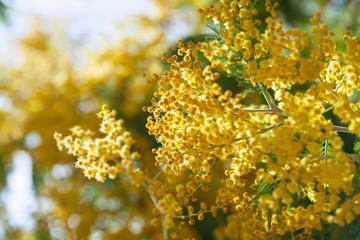 spring Acacia dealbata